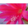 disocactus_ackermannii_beheim_flower_2017051204