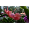 schlumbergera_hybrid_orange_flame_flower_4