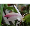 schlumbergera_hybrid_pg21_crown_sovereign_flower_5
