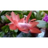 schlumbergera_hybrid_orange_flame_flower_3