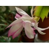schlumbergera_hybrid_pg21_crown_sovereign_flower_3
