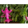 Schlumbergera russelliana Ashfield grafted cutting