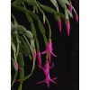 Schlumbergera russelliana form VDL grafted cutting